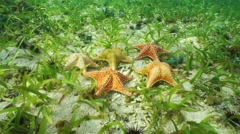 Cushion starfish underwater with different colors Stock Footage