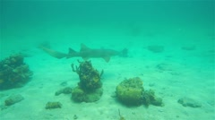 Nurse shark Ginglymostoma cirratum swimming - stock footage
