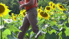 Person walking through field of sunflowers 4k Stock Footage