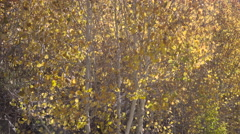 Orange Aspen Leaves trembling in the wind Stock Footage