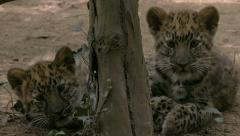 Playing cubs of Amur leopard (Panthera pardus orientalis). - stock footage