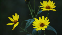 Yellow flowers on a dark background Stock Footage
