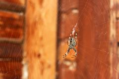 Spider hanging on a web - stock photo