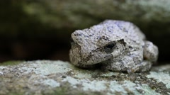 Cope's Gray Tree Frog Stock Footage