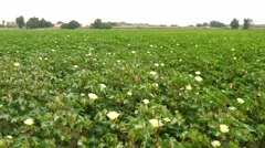 A field of cotton plants with unripe bolls and flower with leaf (4K) Stock Footage