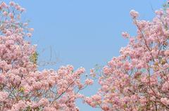 Pink trumpet Tabebuia tree Stock Photos