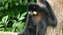 Black spider monkey eating Stock Footage