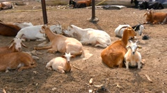 Goats resting on a farm (4K) Stock Footage