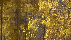 Yellow golden Autumn Aspen tree leaves mountain 4K Stock Footage