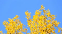 Golden fresh foliage at blue sky background on sunny day. Stock Footage