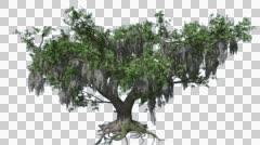 Live Oak Tree Cut of Chroma Key Tree on Alfa Channel Tree with Dry Stock Footage