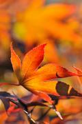 flaming maple leaf - stock photo