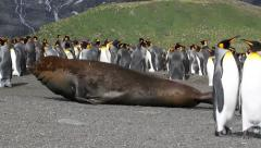 Southern fur seal and penguins Stock Footage