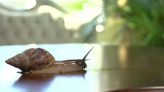 African giant snail Achatina . Timelapse Stock Footage