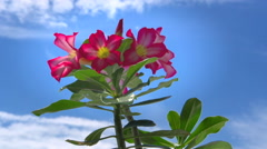 Adenium obesum tree. Beautiful Pink Adenium obesum. Stock Footage