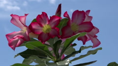 Adenium obesum tree. Stock Footage