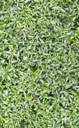 Stock Photo of Myrtle leaves full frame