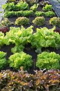 Leafy green salats Stock Photos
