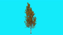 Lombardy Poplar Swaying Tree on Chroma Key Tree on Blue Screen Branches with Stock Footage