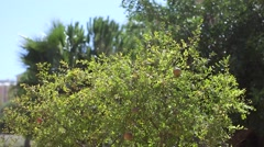 Many pomegranate on a tree Stock Footage