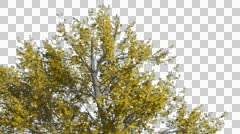 Green Ash Swaying Tree Cut of Chroma Key Tree on Alfa Channel Tree is Swaying Stock Footage