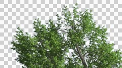Stock Video Footage of Green Ash Swaying Tree Cut of Chroma Key Tree on Alfa Channel Tree is Swaying