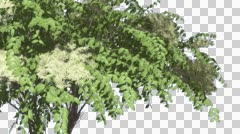 Japanese Angelica Swaying Tree with White Inflorescences Cut of Chroma Key Tree Stock Footage