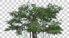 Stock Video Footage of Kapok Swaying Tree Cut of Chroma Key Tree on Alfa Channel Tree is Swaying at
