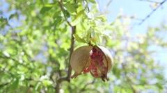 Fruit of a garnet tree Stock Footage