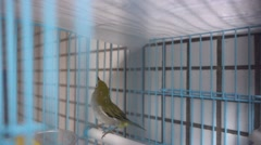 beautiful canary-bird in cage,pets,canton,Highspeed,Canton - stock footage