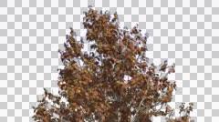Korean Stewartia Swaying Tree Cut of Chroma Key Tree on Alfa Channel Tree is - stock footage