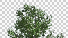 Stock Video Footage of Korean Stewartia Swaying Tree Cut of Chroma Key Tree on Alfa Channel Tree is
