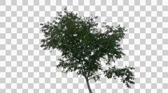 Real Tree Isolated On The Wind 29 Stock Footage