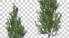 Lombardy Poplar Two Swaying Trees Cut of Chroma Key Tree on Alfa Channel Tree Stock Footage