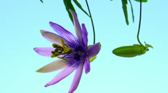 Passiflora flower. flower Passiflora disclosed against the blue sky. Time lapse. - stock footage
