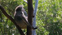 Koala sitting in a tree in 4k - stock footage