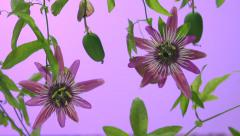 Passiflora flower. berries Passiflora. Two flower.  Time lapse. - stock footage