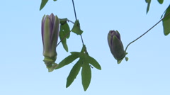 Passiflora flower. Time lapse. - stock footage