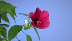 Red hibiscus flower blooming in time-lapse on a blue background. Stock Footage