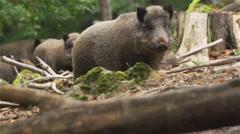 Wild boar in forest Stock Footage