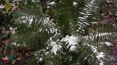 Fern covered with snow 2 Stock Footage