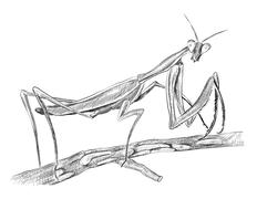 Mantis religiosa sitting on tree, side view - stock illustration