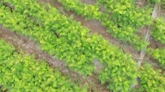 AERIAL VIEW. Rows Of Green Carrot Tops In The Field Stock Footage