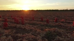 AERIAL VIEW. Sacks Of Harvested Onions In Field At Sunset Stock Footage