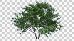 Kousa Dogwood Swaying Tree Cut of Chroma Key Tree on Alfa Channel Tree is Stock Footage