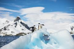 Adelie Penguin Stock Photos