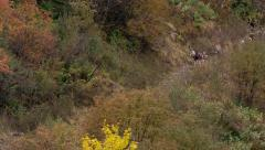 Herd of goat coming into the screen Stock Footage