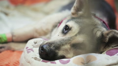 Sick Dog at a Vet Clinic Stock Footage