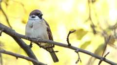 Stock Video Footage of Sparrow sitting on a branch.
