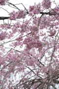 Stock Photo of Pink Sakura flower or cherry blossoms.